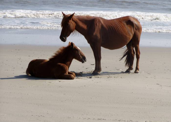 Wild Horse Tours from Corolla Outback Adventure